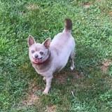 Hinaya, Chien chihuahua à adopter