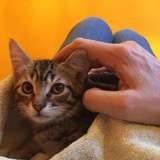 Tiboulen, Chaton européen à adopter