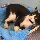 Kiwi, Chat européen à adopter