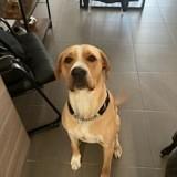 Paco, Chien dogue argentin, labrador retriever à adopter