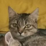 Solène, Chat européen à adopter