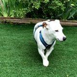 Junior, Chien jack russell terrier à adopter