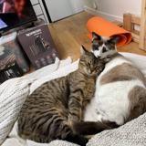 Kuro & oscar, Chat à adopter