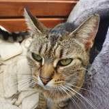 Sirène, Chat à adopter