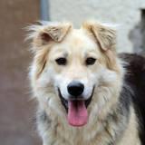 Roxy, Chien berger allemand à adopter