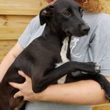 Harley, Chiot à adopter