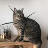 Tigrou, Chat à adopter