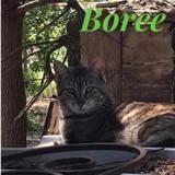 Boree, Chat européen à adopter