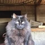Odin, Chat européen à adopter