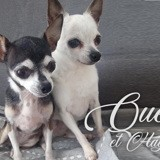 Hayley et queen, Chien chihuahua à adopter
