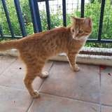 Rory, Chat européen à adopter