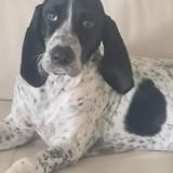 Sheyenne, Chiot bleu de gascogne à adopter