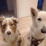 Jena, Chien berger blanc suisse à adopter