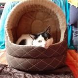 Laya, Chat européen à adopter