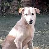Aldo, jeune chien mâle croisé créole, Chien à adopter