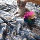 Apollon, Chaton européen à adopter