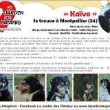 Kaïvo, Chiot berger australien, border collie à adopter