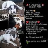 Calvin, Chiot à adopter