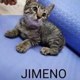 Jimeno, Chaton européen à adopter