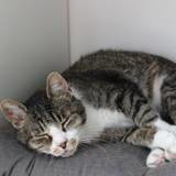 Travis, Chat européen à adopter