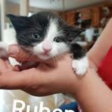 Ruben, Chaton européen à adopter