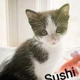 Sushi, Chaton à adopter