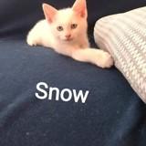 Snow, Chaton à adopter