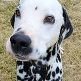 Judor, Chien dalmatien à adopter