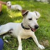 Biche et blanca, Chiot jack russell terrier à adopter