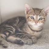Soria, adorable chatonne d'environ deux mois, Chaton européen à adopter