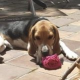Milo, Chiot beagle à adopter