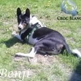 Benji, Chien basenji à adopter