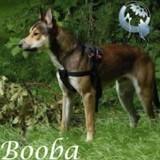 Booba, Chien american staffordshire terrier, husky sibérien à adopter