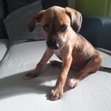 Peppa, Chiot à adopter