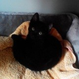 Sasha, Chaton européen à adopter