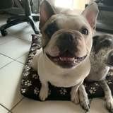 Lola et charly, Chien bouledogue français à adopter