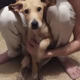Togo, Chiot labrador retriever à adopter