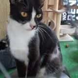 Lily, Chat européen à adopter