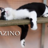 Azino le chat décontracté, Chat à adopter