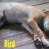 Bird, Chiot à adopter