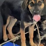 Bobi, Chiot à adopter