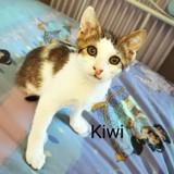 Kiwi chaton tigré et blanc, Chaton à adopter