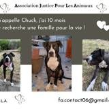 Chuck, Chiot american staffordshire terrier à adopter