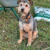 Lya, Chien fox-terrier à adopter
