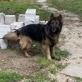 Jango, Chien berger allemand à adopter