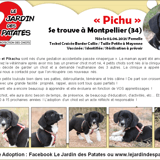 Pichu, Chiot border collie, teckel à adopter