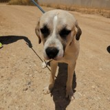 Chico (101 huellas), Chiot à adopter