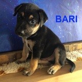 Bari, Chiot à adopter