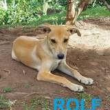Rolf, Chiot à adopter