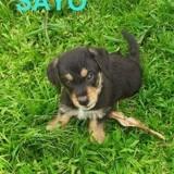 Sayo, Chiot à adopter